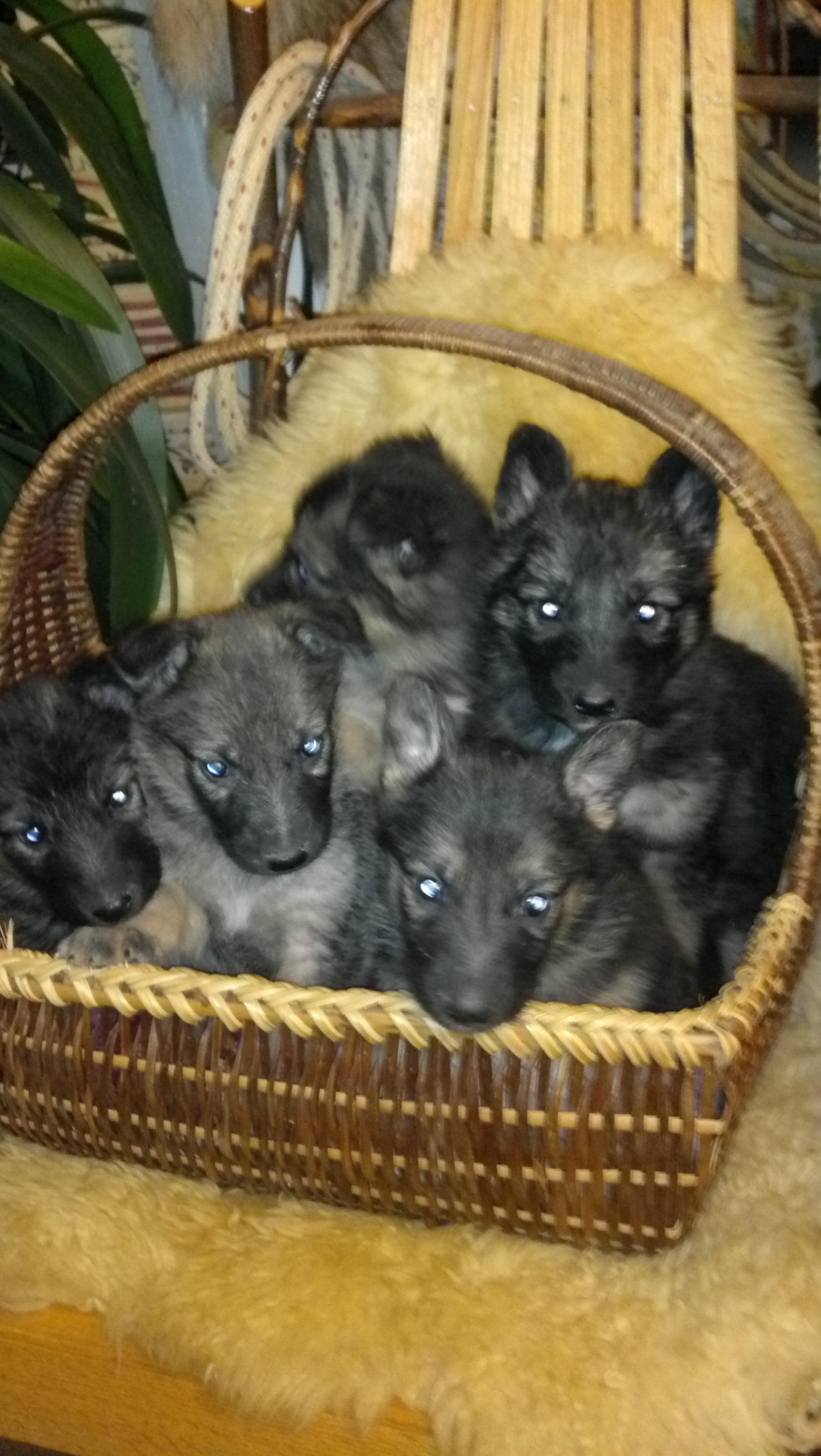 Cherokee's German Shepherd Pups at 5 Weeks old!